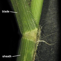 Stems and sheaths: Eleusine indica. ~ By Anna Gardner. ~ Copyright © 2020. ~ dlewis[at]ias.edu ~ Ada Hayden Herbarium - Iowa State U.