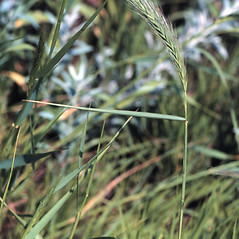 Stems and sheaths: Elymus canadensis. ~ By Larry Allain. ~  Public Domain. ~ larry_allain[at]usgs.gov ~ USDA-NRCS Plants Database - plants.usda.gov/java/