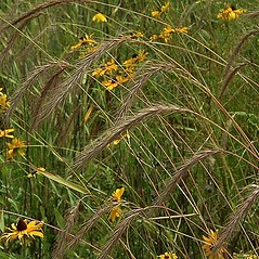 Inflorescences: Elymus canadensis. ~ By Paul S. Drobot. ~ Copyright © 2021 Paul S. Drobot. ~ www.plantstogrow.com, www.plantstockphotos.com ~ Robert W. Freckmann Herbarium, U. of Wisconsin-Stevens Point
