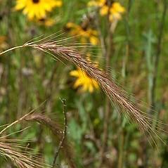 Spikelets: Elymus canadensis. ~ By Paul S. Drobot. ~ Copyright © 2021 Paul S. Drobot. ~ www.plantstogrow.com, www.plantstockphotos.com ~ Robert W. Freckmann Herbarium, U. of Wisconsin-Stevens Point