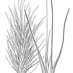 Inflorescences: Elymus glabriflorus. ~ By Elsie Froeschner. ~ Copyright © 2020 Ellen L. Froeschner. ~ Ellen L. Froeschner, 1939-A Frankin Blvd., Carmel Indiana 46032 ~ Ada Hayden Herbarium - Iowa State U.