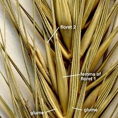 Spikelets: Elymus glabriflorus. ~ By Anna Gardner. ~ Copyright © 2020. ~ dlewis[at]ias.edu ~ Ada Hayden Herbarium - Iowa State U.