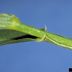 Stems and sheaths: Elymus repens. ~ By Ohio State Weed Lab. ~ Copyright © 2020 CC BY-NC 3.0. ~  ~ Bugwood - www.bugwood.org/