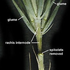 Inflorescences: Elymus riparius. ~ By Anna Gardner. ~ Copyright © 2021. ~ dlewis[at]ias.edu ~ Ada Hayden Herbarium - Iowa State U.