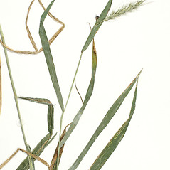 Leaves: Elymus riparius. ~ By Derick B. Poindexter. ~ Copyright © 2021 Derick B. Poindexter. ~ dpoindex[at]live.unc.edu ~ Vascular Flora of Alleghany County, NC - vascularflora.appstate.edu/