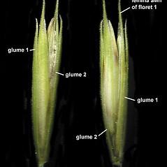 Spikelets: Elymus trachycaulus. ~ By Anna Gardner. ~ Copyright © 2020. ~ dlewis[at]ias.edu ~ Ada Hayden Herbarium - Iowa State U.
