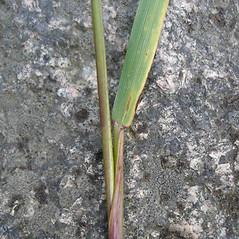 Ligules: Elymus virginicus. ~ By Jill Weber. ~ Copyright © 2020 Jill Weber. ~ jillweber03[at]gmail.com