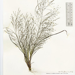 Plant form: Eragrostis capillaris. ~ By The Herbarium of The Morton Arboretum (MOR). ~ Copyright © 2020 The Morton Arboretum. ~ Ed Hedborn, The Morton Arboretum ~ The Herbarium of The Morton Arboretum