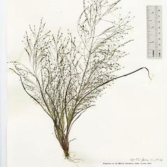 Plant form: Eragrostis capillaris. ~ By The Herbarium of The Morton Arboretum (MOR). ~ Copyright © 2021 The Morton Arboretum. ~ Ed Hedborn, The Morton Arboretum ~ The Herbarium of The Morton Arboretum
