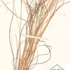 Leaves: Eragrostis capillaris. ~ By William and Linda Steere and the C.V. Starr Virtual Herbarium. ~ Copyright © 2021 William and Linda Steere and the C.V. Starr Virtual Herbarium. ~ Barbara Thiers, Director; bthiers[at]nybg.org ~ C.V. Starr Herbarium - NY Botanical Gardens