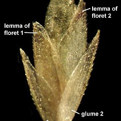 Spikelets: Eragrostis capillaris. ~ By Anna Gardner. ~ Copyright © 2020. ~ dlewis[at]ias.edu ~ Ada Hayden Herbarium - Iowa State U.