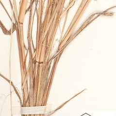 Stems and sheaths: Eragrostis capillaris. ~ By William and Linda Steere and the C.V. Starr Virtual Herbarium. ~ Copyright © 2020 William and Linda Steere and the C.V. Starr Virtual Herbarium. ~ Barbara Thiers, Director; bthiers[at]nybg.org ~ C.V. Starr Herbarium - NY Botanical Gardens