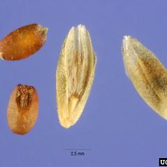 Spikelets: Eragrostis curvula. ~ By Steve Hurst. ~  Public Domain. ~  ~ USDA-NRCS Plants Database - plants.usda.gov/java/