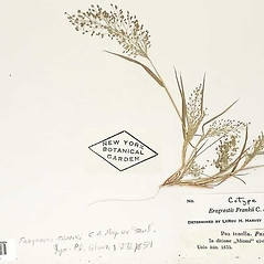 Leaves: Eragrostis frankii. ~ By William and Linda Steere and the C.V. Starr Virtual Herbarium. ~ Copyright © 2020 William and Linda Steere and the C.V. Starr Virtual Herbarium. ~ Barbara Thiers, Director; bthiers[at]nybg.org ~ C.V. Starr Herbarium - NY Botanical Gardens