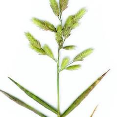 Inflorescences: Eragrostis hypnoides. ~ By Anna Gardner. ~ Copyright © 2020. ~ dlewis[at]ias.edu ~ Ada Hayden Herbarium - Iowa State U.