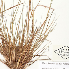 Leaves: Eragrostis mexicana. ~ By William and Linda Steere and the C.V. Starr Virtual Herbarium. ~ Copyright © 2020 William and Linda Steere and the C.V. Starr Virtual Herbarium. ~ Barbara Thiers, Director; bthiers[at]nybg.org ~ C.V. Starr Herbarium - NY Botanical Gardens