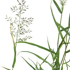 Plant form: Eragrostis minor. ~ By Anna Gardner. ~ Copyright © 2021. ~ dlewis[at]ias.edu ~ Ada Hayden Herbarium - Iowa State U.