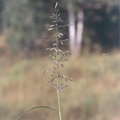 Inflorescences: Eragrostis minor. ~ By Donald Cameron. ~ Copyright © 2021 Donald Cameron. ~ No permission needed for non-commercial uses, with proper credit