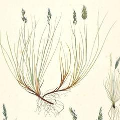 Inflorescences: Festuca brachyphylla. ~ By G.C. Oeder. ~  Public Domain. ~  ~ Flora Danica - www.kb.dk/en/tema/floradanica/index.html