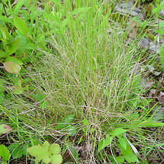 Plant form: Festuca filiformis. ~ By Arthur Haines. ~ Copyright © 2020. ~ arthurhaines[at]wildblue.net