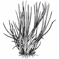 Stems and sheaths: Festuca ovina. ~ By Elizabeth Farnsworth. ~ Copyright © 2020 New England Wild Flower Society. ~ Image Request, images[at]newenglandwild.org