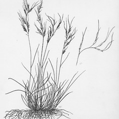Plant form: Festuca prolifera. ~ By Tess Feltes. ~  Public Domain. ~  ~ U. of New Hampshire