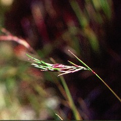 Inflorescences: Festuca prolifera. ~ By Donald Cameron. ~ Copyright © 2021 Donald Cameron. ~ No permission needed for non-commercial uses, with proper credit