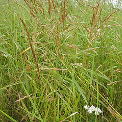 Plant form: Festuca rubra. ~ By Glen Mittelhauser. ~ Copyright © 2020 Glen Mittelhauser. ~ www.mainenaturalhistory.org
