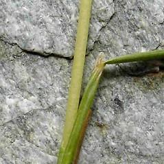 Ligules: Festuca rubra. ~ By Jill Weber. ~ Copyright © 2020 Jill Weber. ~ jillweber03[at]gmail.com
