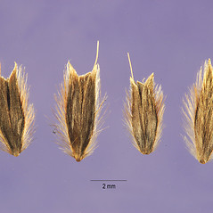 Spikelets: Gastridium phleoides. ~ By Jose Hernandez. ~  Public Domain. ~  ~ USDA-NRCS Plants Database - plants.usda.gov/java/