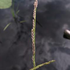 Spikelets: Glyceria borealis. ~ By Marilee Lovit. ~ Copyright © 2021 Marilee Lovit. ~ lovitm[at]gmail.com