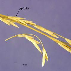 Spikelets: Glyceria fluitans. ~ By Jose Hernandez. ~  Public Domain. ~  ~ USDA-NRCS Plants Database - plants.usda.gov/java/