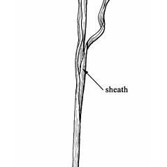 Stems and sheaths: Glyceria fluitans. ~ By Mary Barkworth. ~ Copyright © 2020 Mary Barkworth. ~ Mary.Barkworth[at]usu.edu ~ Manual of Grasses for North America