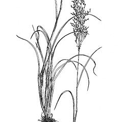 Plant form: Glyceria grandis. ~ By Mary Barnes Pomeroy. ~ Copyright © 2021 Estate of Herbert Mason. ~ Any use permitted ~ Mason, HL. 1957. A flora of the Marshes of California. U. of California Press, Berkeley and Los Angeles, Library of Congress number 57-7960