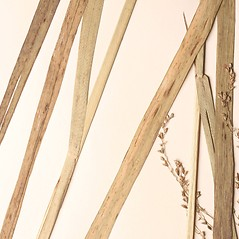 Leaves: Glyceria laxa. ~ By New England Botanical Club. ~ Copyright © 2020 New England Botanical Club. ~ No permission needed for non-commercial uses, with proper credit