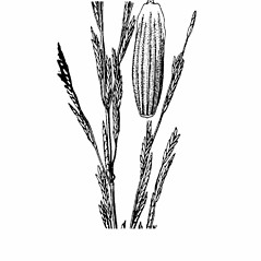 Spikelets: Glyceria septentrionalis. ~ By Agnes Chase. ~  Public Domain. ~ None needed ~ A.S. Hitchcock. 1950. Manual of Grasses of the United States (2nd edition rev. Agnes Chase), USDA Misc. Pub. 200