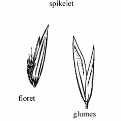 Spikelets: Graphephorum melicoides. ~ By Agnes Chase. ~  Public Domain. ~ None needed ~ A.S. Hitchcock. 1950. Manual of Grasses of the United States (2nd edition rev. Agnes Chase), USDA Misc. Pub. 200