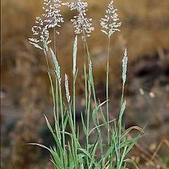 Plant form: Holcus lanatus. ~ By Joseph DiTomaso. ~ Copyright © 2021 CC BY-NC 3.0. ~  ~ Bugwood - www.bugwood.org/