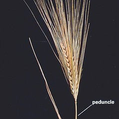 Inflorescences: Hordeum vulgare. ~ By J.G. Davis. ~ Copyright © 2020 CC BY-NC 3.0. ~  ~ Bugwood - www.bugwood.org/