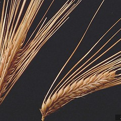 Spikelets: Hordeum vulgare. ~ By J.G. Davis. ~ Copyright © 2020 CC BY-NC 3.0. ~  ~ Bugwood - www.bugwood.org/