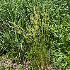 Plant form: Koeleria macrantha. ~ By Paul S. Drobot. ~ Copyright © 2021 Paul S. Drobot. ~ www.plantstogrow.com, www.plantstockphotos.com ~ Robert W. Freckmann Herbarium, U. of Wisconsin-Stevens Point