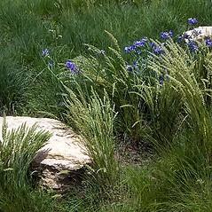 Plant form: Koeleria macrantha. ~ By Paul S. Drobot. ~ Copyright © 2020 Paul S. Drobot. ~ www.plantstogrow.com, www.plantstockphotos.com ~ Robert W. Freckmann Herbarium, U. of Wisconsin-Stevens Point