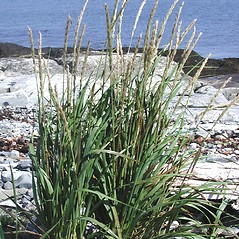 Plant form: Leymus mollis. ~ By Marilee Lovit. ~ Copyright © 2021 Marilee Lovit. ~ lovitm[at]gmail.com