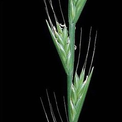 Inflorescences: Lolium temulentum. ~ By Joseph DiTomaso. ~ Copyright © 2020 CC BY-NC 3.0. ~  ~ Bugwood - www.bugwood.org/