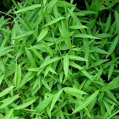 Plant form: Microstegium vimineum. ~ By Arthur Haines. ~ Copyright © 2020. ~ arthurhaines[at]wildblue.net