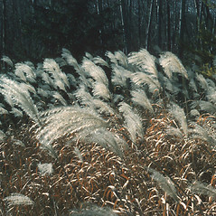 Plant form: Miscanthus sacchariflorus. ~ By Robert Freckmann. ~ Copyright © 2021 Robert Freckmann. ~ rfreckma[at]uwsp.edu ~ Robert W. Freckmann Herbarium, U. of Wisconsin-Stevens Point
