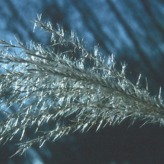 Inflorescences: Miscanthus sacchariflorus. ~ By Robert Freckmann. ~ Copyright © 2019 Robert Freckmann. ~ rfreckma[at]uwsp.edu ~ Robert W. Freckmann Herbarium, U. of Wisconsin-Stevens Point