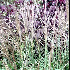 Inflorescences: Miscanthus sinensis. ~ By Carol Levine. ~ Copyright © 2021 Carol Levine. ~ carolflora[at]optonline.net