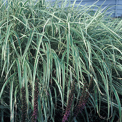 Plant form: Miscanthus sinensis. ~ By John Lynch. ~ Copyright © 2020 New England Wild Flower Society. ~ Image Request, images[at]newenglandwild.org