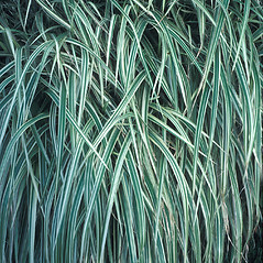 Leaves: Miscanthus sinensis. ~ By John Lynch. ~ Copyright © 2021 New England Wild Flower Society. ~ Image Request, images[at]newenglandwild.org